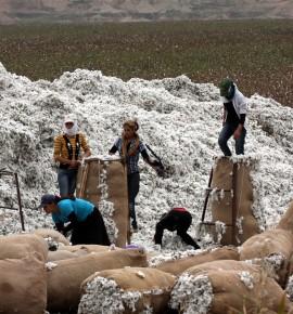 Beyaz altın pamukta üretim ihtiyaca yetmiyor…