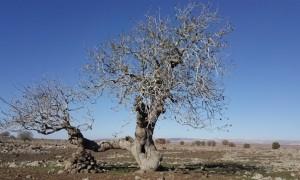 Zamana meydan okuyan Antep fıstığı ağaçları
